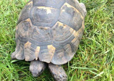 Tobi tortoise